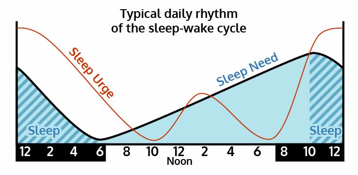 Daily-Rhythm-Sleep-Wake-Cycle
